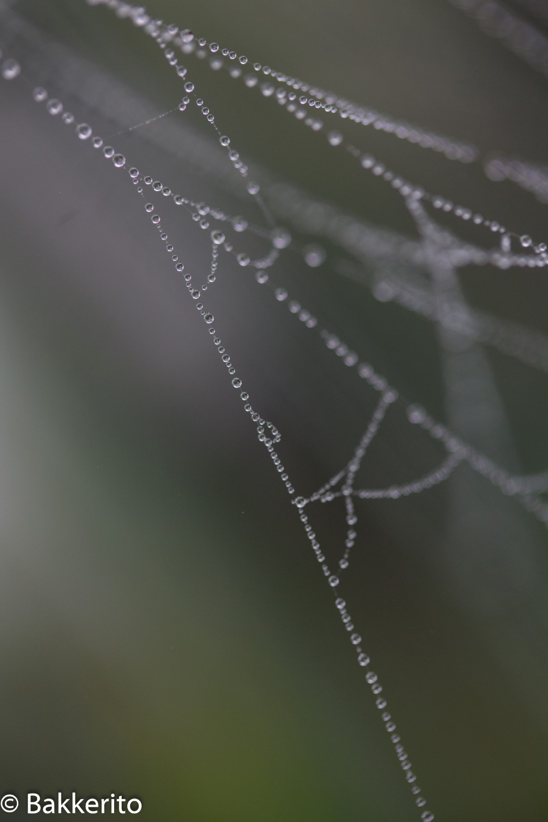 Dew on a spiderweb