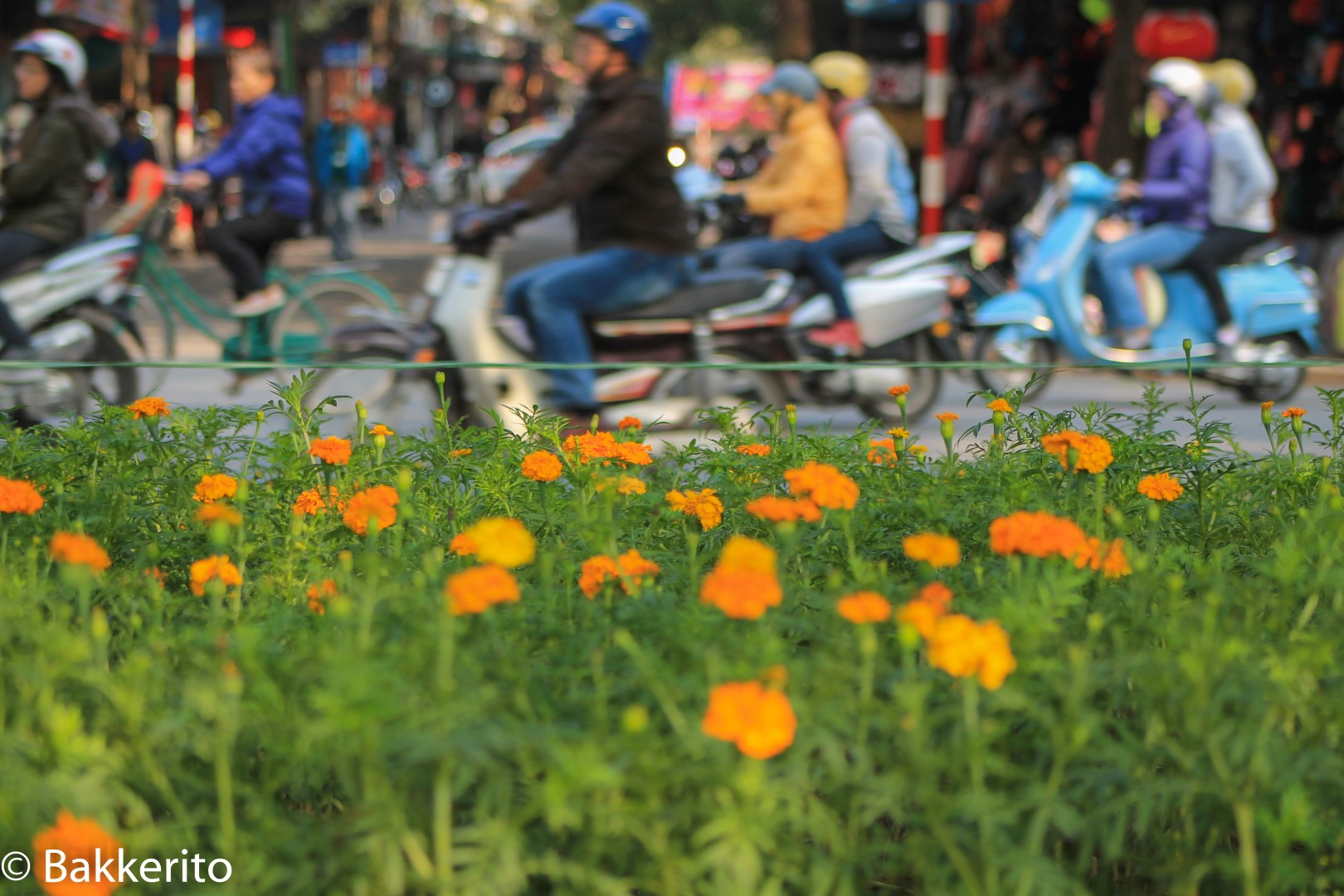 Orange flowers in a green bed in Hanoi